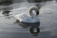 A white swan in an icy pond. A white swan on the Cemetery Lake on Southampton Common, Hampshire, UK on an icy day royalty free stock photos