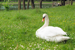 White Swan In The Park Royalty Free Stock Photos