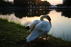 White Swan Is Standing Near Lake Stock Images