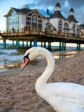 White swan on island Ruegen Royalty Free Stock Images