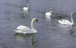 White Swan isolated. White swan on the lake.  royalty free stock image