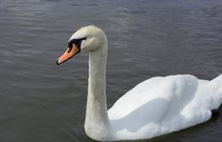 White Swan isolated. White swan on the lake.  royalty free stock photography