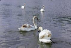 White Swan isolated. White swan on the lake.  royalty free stock photo