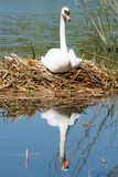 White Swan on its nest. Stock Images