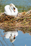 White Swan on its nest. Royalty Free Stock Photo