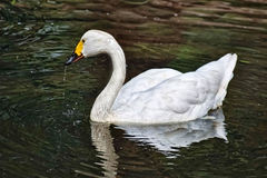 White swan in lake. White swan in dark lake Stock Image