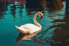 White swan lake royalty free stock photos