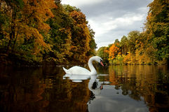 White swan on lake. October, Ukraine, Bila Tserkva, the historical landscape park Alexandria Stock Photo