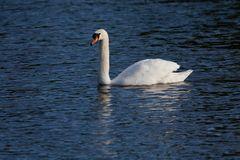 White swan on lake Stock Image