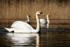 White swan on lake Royalty Free Stock Images