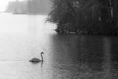 White swan on lake Stock Images