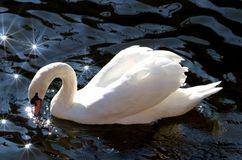 White swan on lake Stock Images