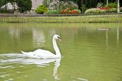 White swan in lake. Royalty Free Stock Images