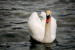 White swan on lake. A white swan swimming on lake in a cloudy day Stock Photography