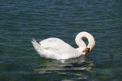 White swan on lake royalty free stock photos
