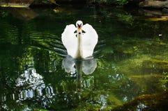 White swan. On a lake Stock Photo