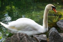 White swan. On a lake Royalty Free Stock Photos