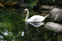 White swan. On a lake Stock Photos