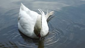 White swan. On the lake stock video footage