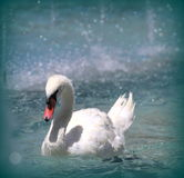 White swan on a lake Stock Images
