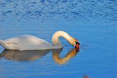 White swan. Swan on the lake Stock Photo