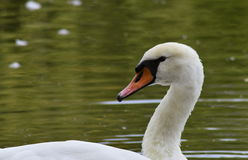 White swan on the lake. White swan  on the lake Stock Images