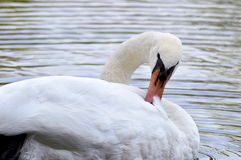 White swan on the lake. White swan  on the lake Royalty Free Stock Photography