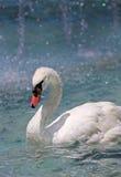 White swan on a lake Royalty Free Stock Image