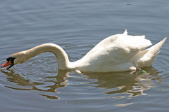 White swan on lake. Side view of white swan feeding on lake stock photo