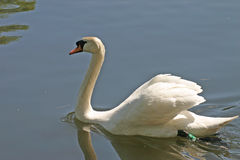 White swan on lake stock photography