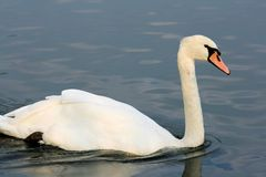 White swan. On a lake Stock Images