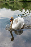 White swan on lake Stock Photos