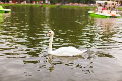 White swan at lake Royalty Free Stock Photography