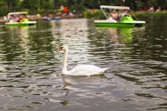 White swan at lake Stock Photography