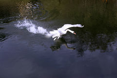 White swan in the lake Stock Image