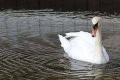 A white swan on a lake stock photos