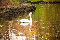 White swan in the lake Royalty Free Stock Photos
