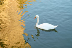 White swan on a lake. White swan on a lake with beautiful water reflections Royalty Free Stock Image