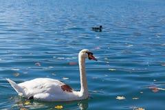 White swan on lake Bled Stock Photo