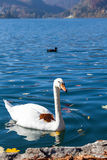White swan on lake Bled Royalty Free Stock Images