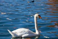 White swan on lake Bled Stock Images