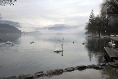White Swan Royalty Free Stock Photo