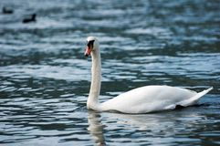 White swan in the lake with blue water stock images