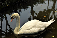 White swan on a lake Stock Photo