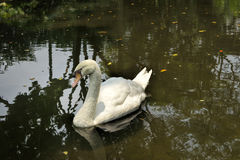 White swan on a lake Royalty Free Stock Photos