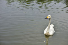 The white swan in the lake Royalty Free Stock Image