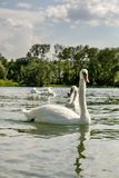 White swan on lake Constance Royalty Free Stock Photos