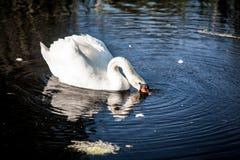 White swan on lake drinking water Royalty Free Stock Photo