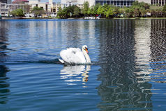 White swan at Lake Eola, Orlando Florida Stock Image