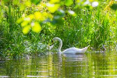 White swan on the lake with green leaves. Beautiful nature royalty free stock images
